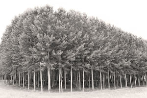 A grove of poplar trees