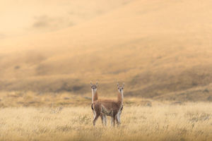 travel imagery/travel photographer collections coolbiere landscapes/guanaco standing field
