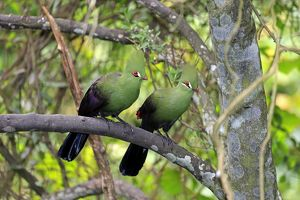 Guinea Turacos -Tauraco persa-, adult on tree, native to Africa, captive