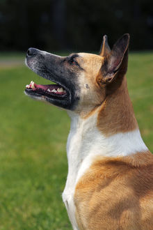Half-breed, Podenco and Bernese Mountain Dog Mix -Canis lupus familiaris- domestic dog