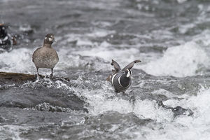 Harlequin Duck on a mid-stream rock