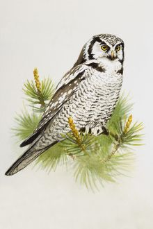 Hawk owl (Surnia ulula), perching on a pine branch, side view