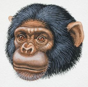 Head of a Chimpanzee, Pan troglodytes, looking ahead, front view