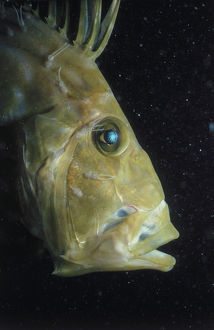 Head of John Dory Fish