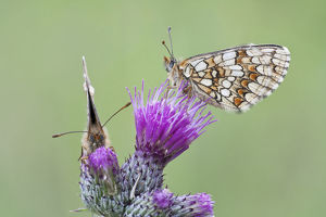 Two Heath Fritillary butterflies -Melitaea athalia- perched on a Spiny Plumeless