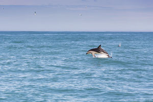 Hector's Dolphin -Cephalorhynchus hectori- jumping out of the water, Ferniehurst