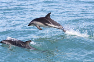 Hector's Dolphins -Cephalorhynchus hectori- jumping out of the water, Ferniehurst