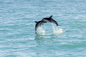 Two Hector's Dolphins -Cephalorhynchus hectori- meeting in the air while jumping