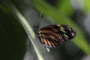 Heliconian butterfly -Eueides isabellae-, captive, Germany, Europe