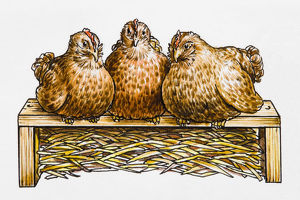 Three hens side by side on a hen perch, straw underneath