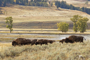 Herd of Bison (Bovinae) in fall, Lamar Valley, Yellowstone National Park, Montana