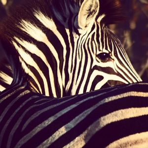 High Angle View Of Zebra At Kruger National Park