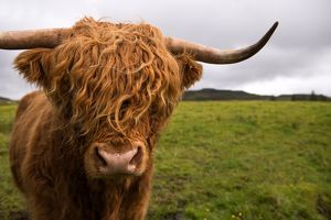 <b>Highland Cow</b><br>Selection of 33 items