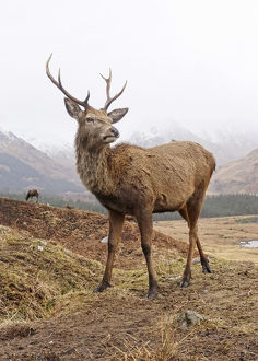 Highland stag close up