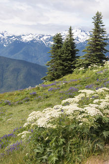Hills with flowering wildflowers, Hurrican Ridge, Olympic National Park, Washington State