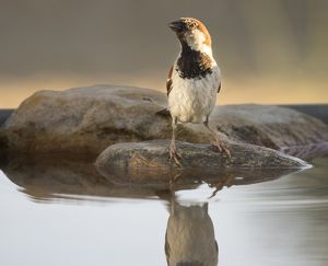 House Sparrow (Passer domesticus) , Spain. On a stone reflected in water
