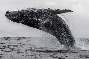 Humpback whale breaching off the coast of Langebaan, South Africa