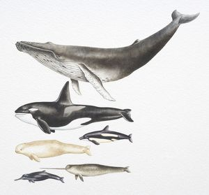 Humpback Whale, Killer Whale, Beluga, Pacific White-Sided Dolphin, Ganges River Dolphin