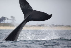 Humpback Whale Tail Lobs