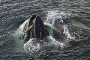 Humpback whales feeding, Antarctic Peninsula