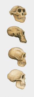 collections/dorling kindersley prints/illustration australopithecus homo habilis homo