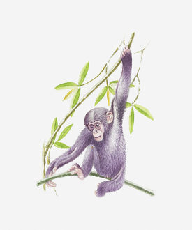 Illustration of baby chimpanzee holding onto a branch