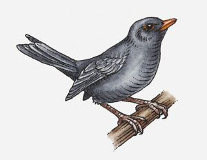 Illustration of a blackbird perching on a branch