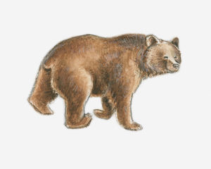 Illustration of a brown bear