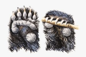 Illustration of Brown Bear (Ursus arctos) paws showing pads, and claws gripping bamboo