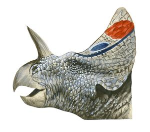 Illustration of Centrosaurus, head in profile showing bony crest, spiked horn above nose