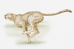 Illustration of a cheetah sprinting, side view