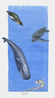 Illustration of Emperor Penguin, Leatherback Turtle, Sperm Whale and Rattail fish
