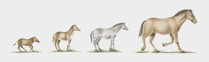Illustration of evolution of the horse