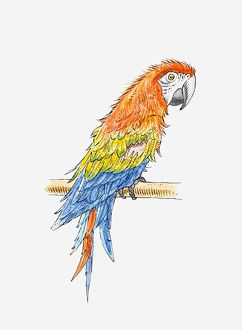 Illustration of Green-winged macaw (Ara chloropterus)
