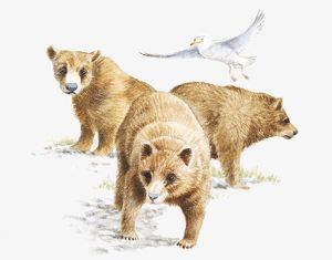 Illustration of three Grizzly Bears (Ursus arctos horribilis) and Glaucous Gull