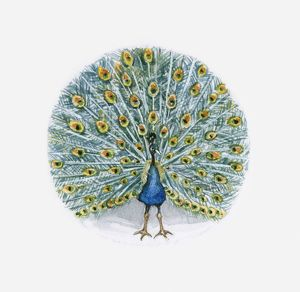 Illustration of Indian Peafowl (Pavo cristatus)