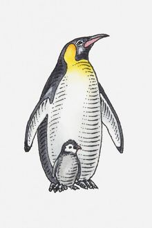 Illustration of King Penguin (Aptenodytes patagonicus) with chick