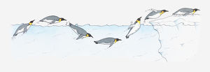 Illustration of King Penguin Aptenodytes patagonica diving and swimming and diving