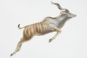 Illustration, leaping Nyala (Tragelaphus angasii), curly horns and vertical white