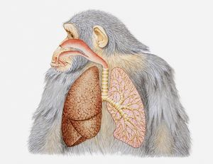 Illustration of lungs and respiratory system of a chimpanzee