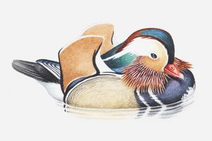 Illustration of a male Mandarin duck (Aix galericulata) in water