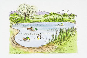Illustration of Mallard (Anas platyrhynchos) ducks swimming and ducking for food in pond
