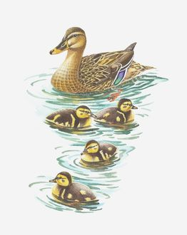 Illustration of mallard duck with ducklings