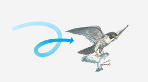 Illustration of a Peregrine falcon (Falco peregrinus) catching a pigeon