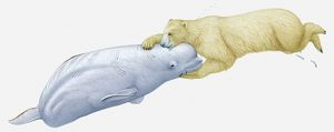 Illustration of polar bear attacking a Beluga whale