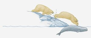 Illustration of polar bear jumping from ice pack onto beluga whale trapped under the ice.