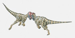Illustration of Prenocephale dinosaurs confronting head-on