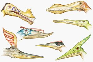 Illustration of Pterodactyloid heads showing sharp teeth and crests on top of heads