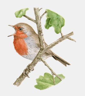 Illustration of a Robin (Erithacus rubecula) perching on a branch and singing