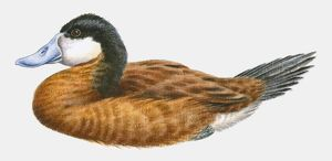 Illustration of a Ruddy duck (Oxyura jamaicensis), side view